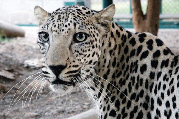 Leopardo de Arabia