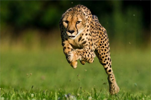 leopardo-corriendo