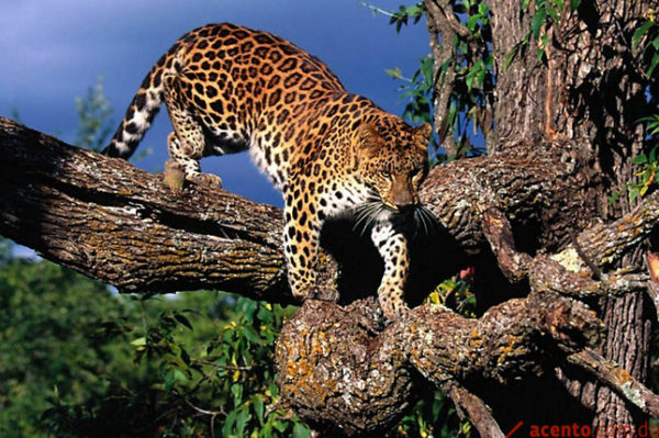Leopardo de la India