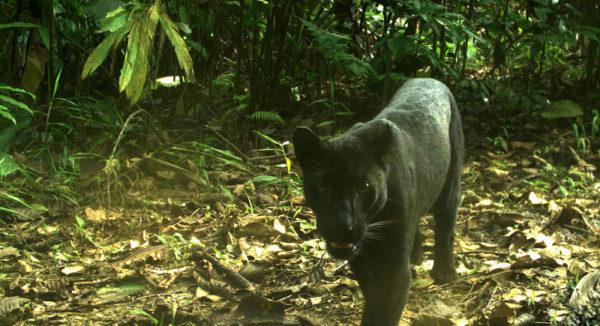 leopardo-negro
