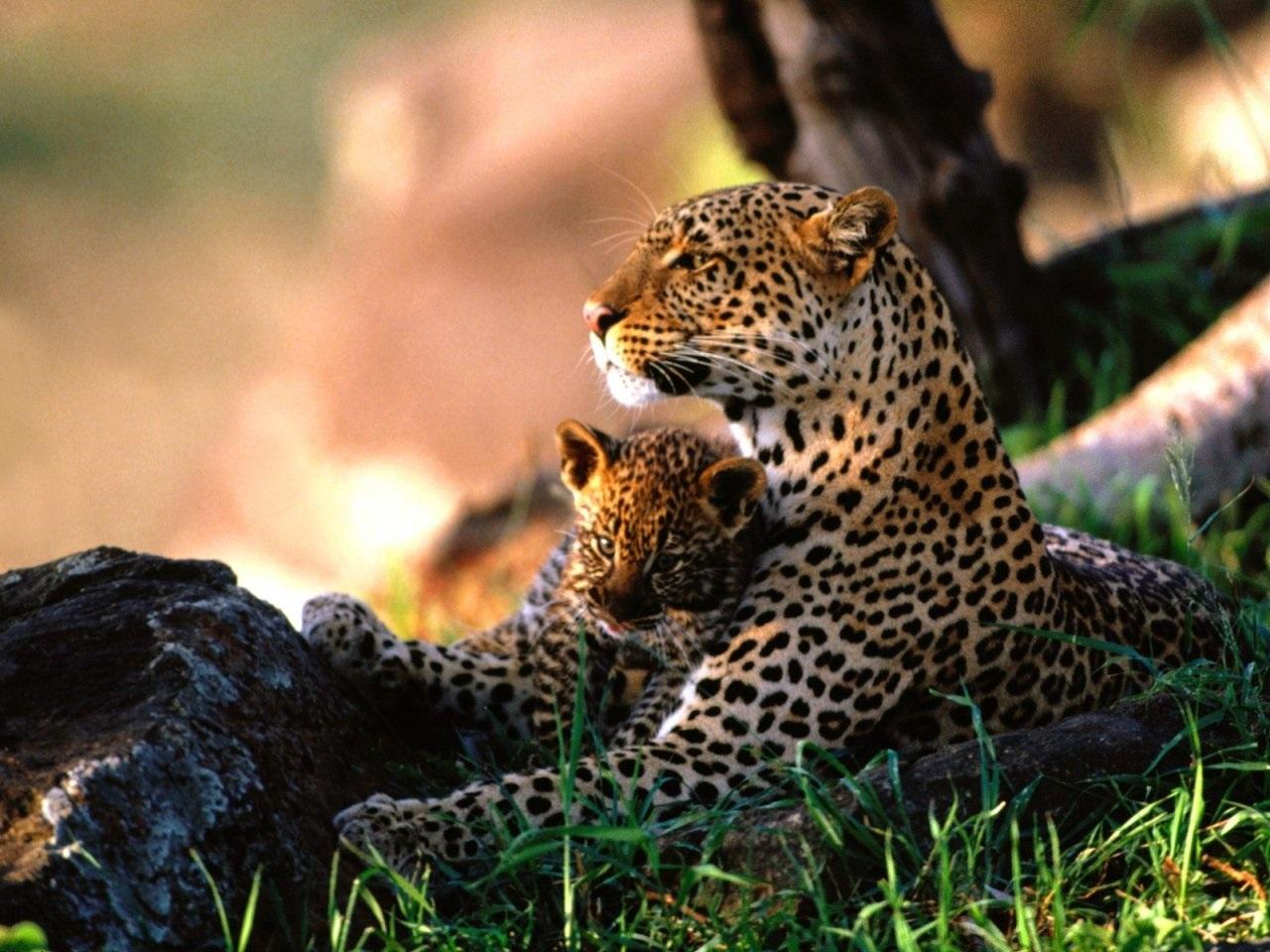 Leopardo | Fotos, Características y Diferencias con el Guepardo ...