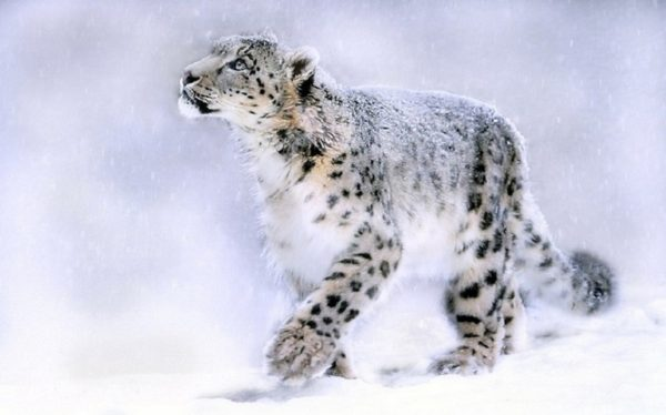 leopardo-trepando-de-las-nieves