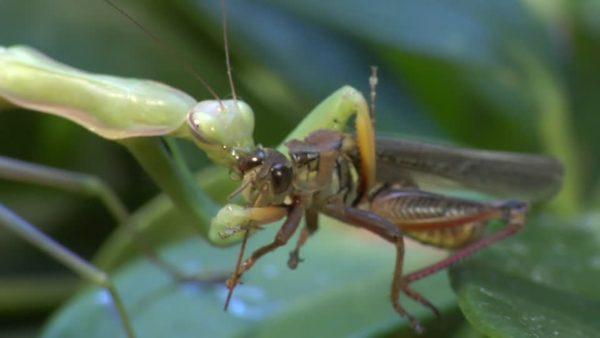mantis-religiosa-alimentandose-saltamontes