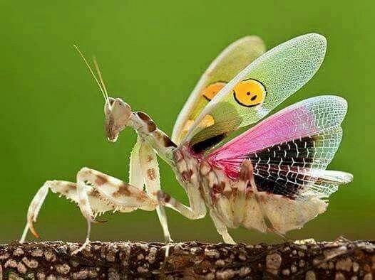 mantis-religiosa-mantis-flor-india