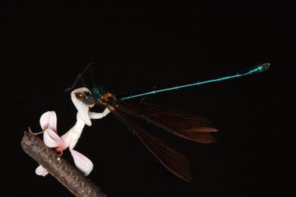 mantis-religiosa-orquidea-d