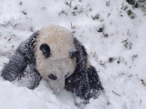oso-panda-nieve
