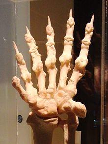 panda-gigante-sexto-dedo