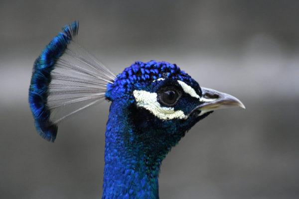 Pavo real caracter sticas reproducci n y fotos animalesmascotas - Fotos de un pavo real ...