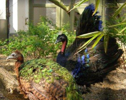 Pavo Real | Características, Reproducción y Fotos - AnimalesMascotas