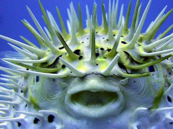 pez-globo-boca