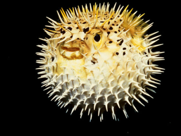 pez-globo-espinas