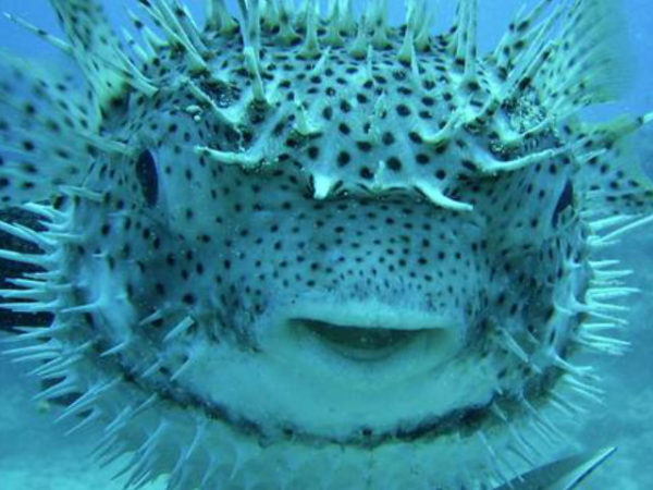 pez-globo-manchas