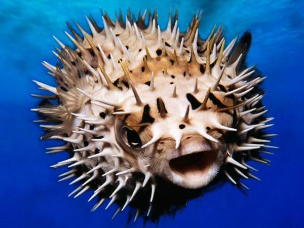 pez-globo-pinchos