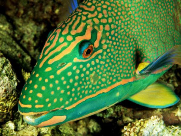 pez-loro-amarillo-y-verde