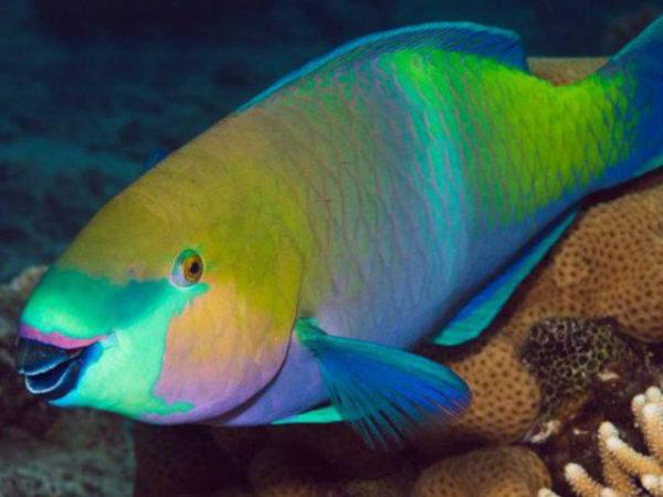 pez-loro-arrecife