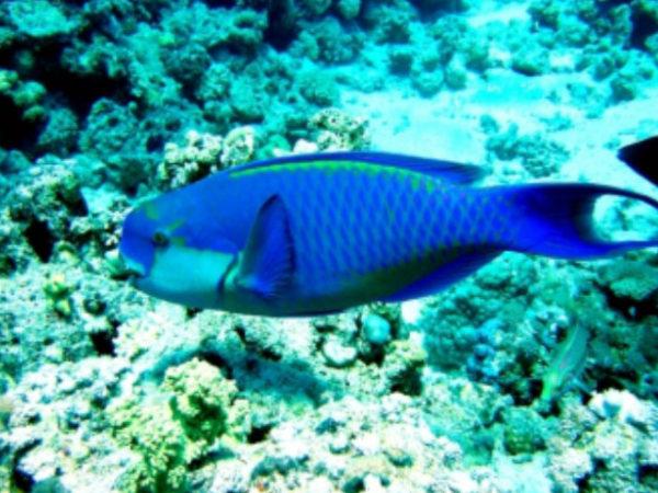 pez-loro-azul