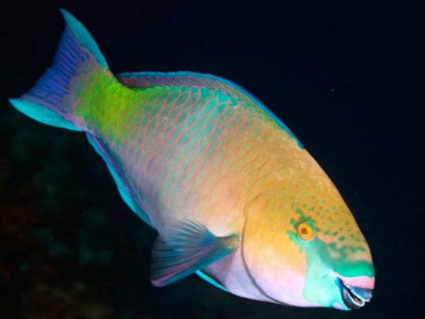 pez-loro-colores