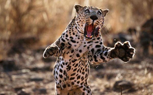 leopardo-atacando