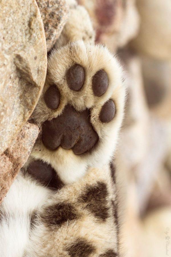 leopardo-garra-leopardo-nieves