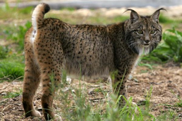leopardo-lince-iberico