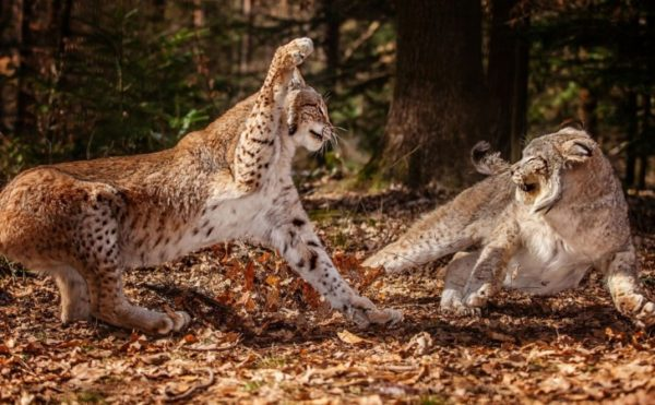leopardo-lucha-leopardos