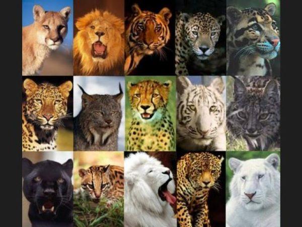 leopardo-tipos-felinos
