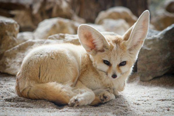 Mascotas exoticas fenec