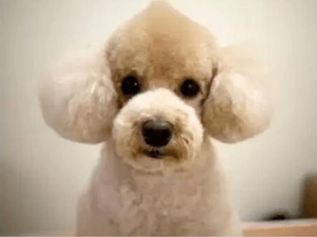 Cortes de pelo caninos poodle