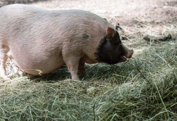 Cerdo vietnamita cuidados cerdito alimentacion