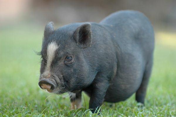 Cerdo vietnamita cuidados cerdito blanco negro