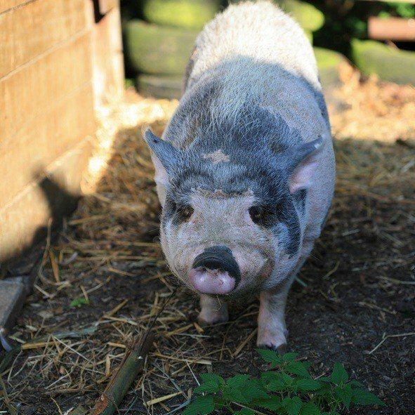 Cerdo vietnamita cuidados cerdito gris