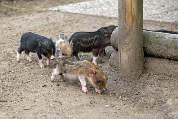 Cerdo vietnamita cuidados cerdito piara