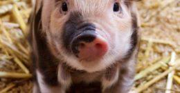 Cerdo Vietnamita: Características y cuidados