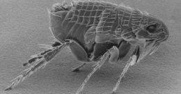 Qué son las pulgas y cómo tratarlas