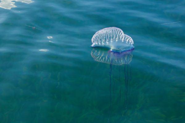 Las medusas con peligrosas carabela portuguesa