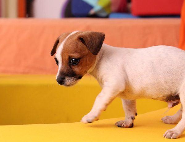 11 Razas De Perros Pequeños Animalesmascotas