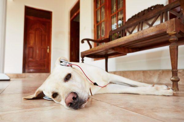 Musica relajante para perros labrador cascos