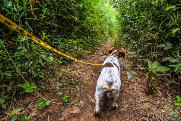 Perros de caza beagle