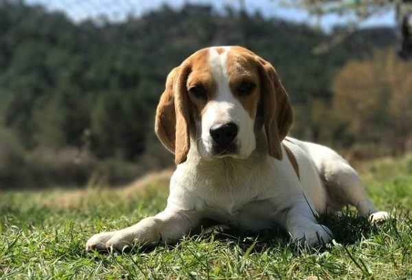 10 razas de perros medianos animalesmascotas for Puertas perros medianos