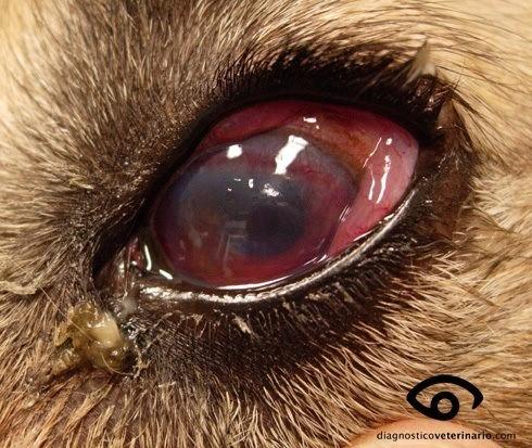 Por qué mi perro tiene los ojos rojos - AnimalesMascotas