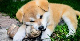 Las 10 mejores razas de perros japoneses