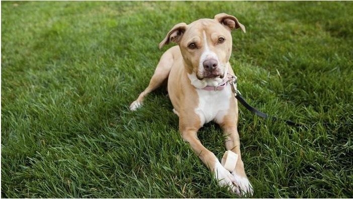 Perros Pitbull Características Cuidados Y Las Mejores
