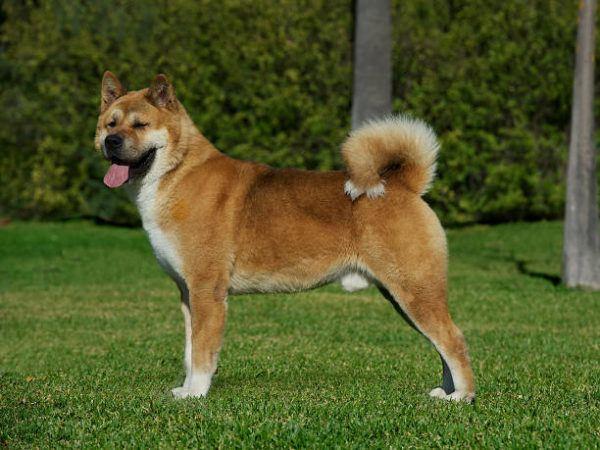 Perros grandes Akita