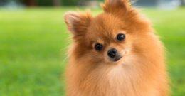 Pomerania – Fotos, características y cuidados