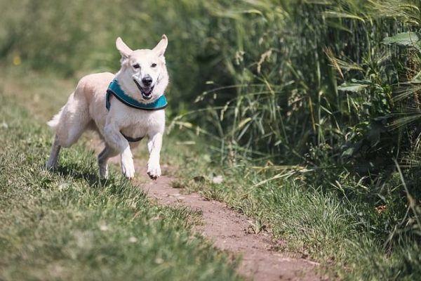 ahuyentador-de-perro-perro-corriendo-con-babero-azul