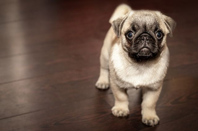 ahuyentador-de-perro-pug-cachorro