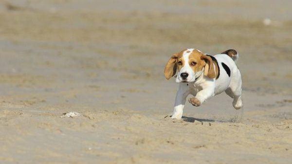 beagle-fotos-raza-de-perro-beagle-cachorro-en-la-playa