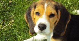 Beagles. Fotos y razas de perros