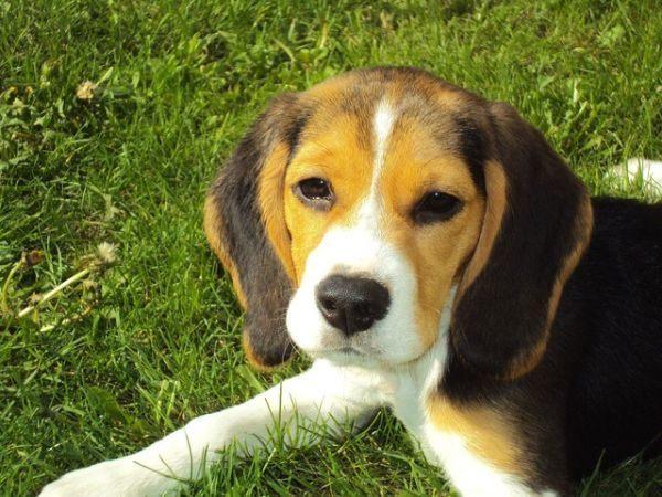 beagle-fotos-raza-de-perro-cachorro-echado-en-cesped