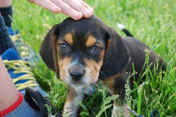 beagle-fotos-raza-de-perro-cachorro-mano-acariciando